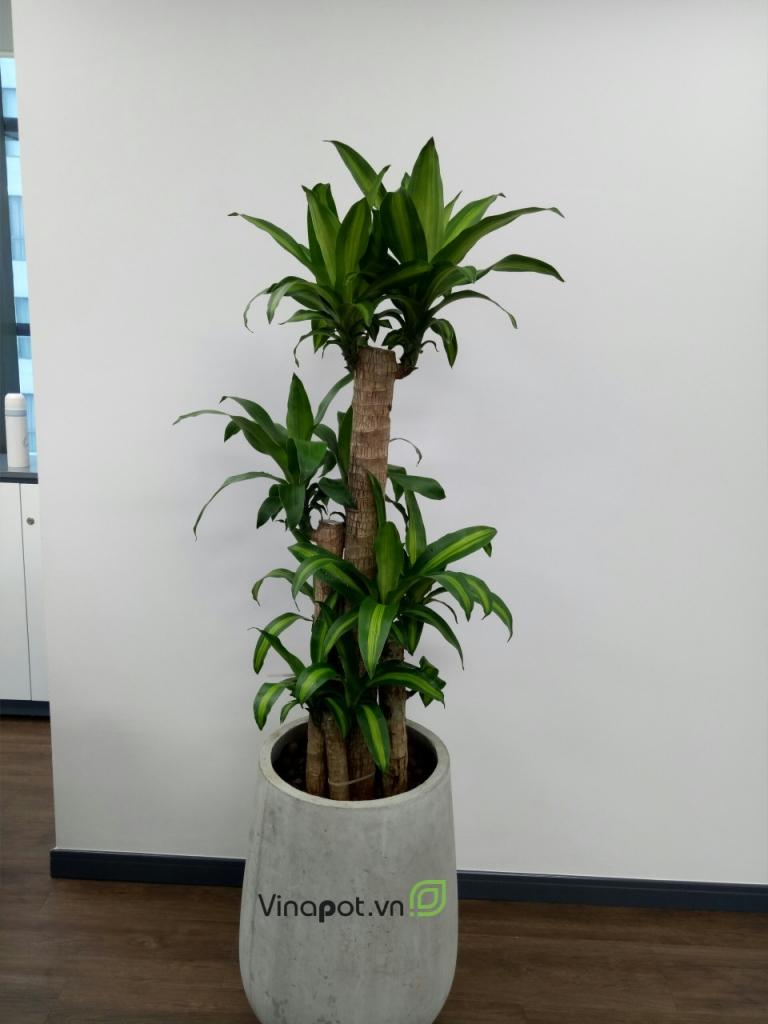 Chậu xi măng nhẹ trồng cây văn phòng