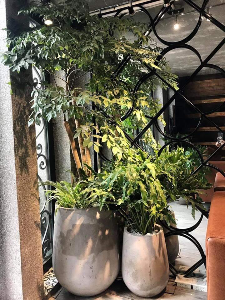 Chậu xi măng nhẹ trồng cây trong nhà